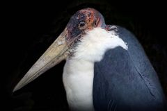 Marabu (Neuwieder Zoo)