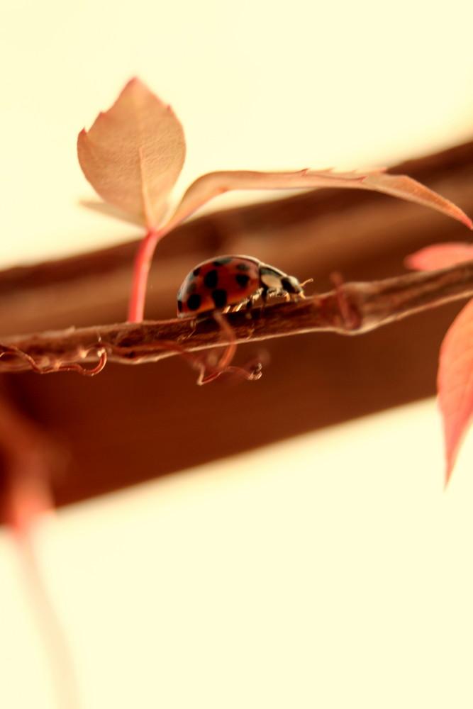 Mareinkäfer im Herbst