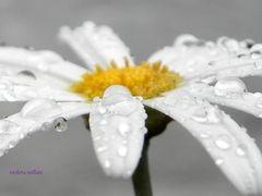 margarita bajo la lluvia