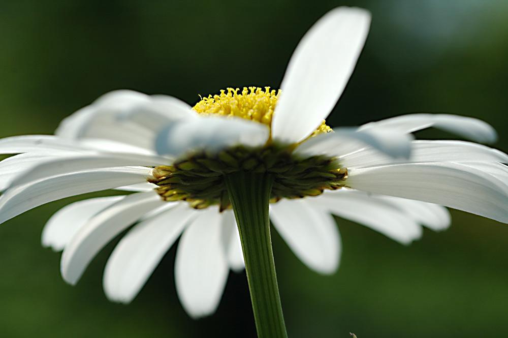 Margerite (Chrysanthemum)