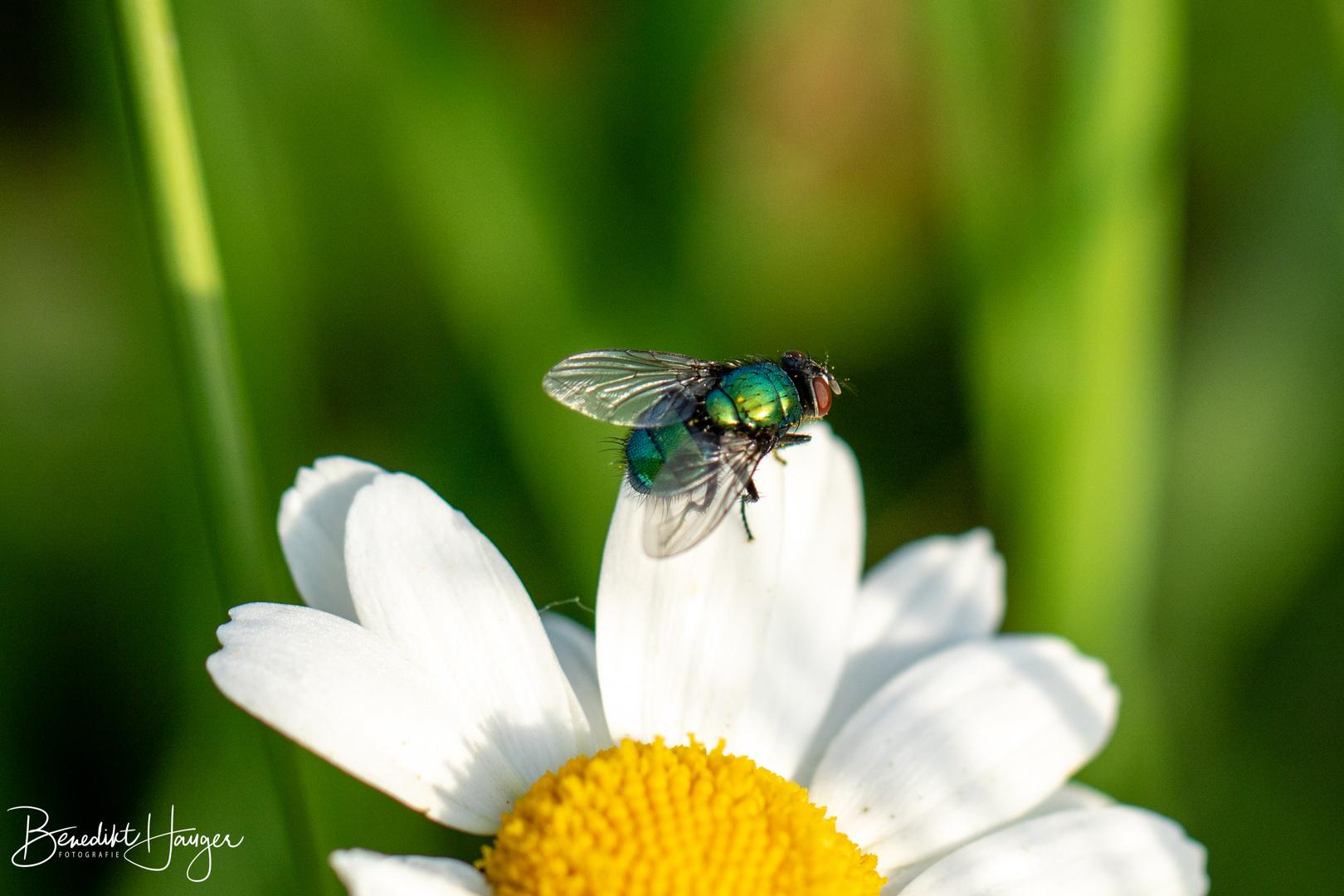 Margerite - Fliegen-Macro