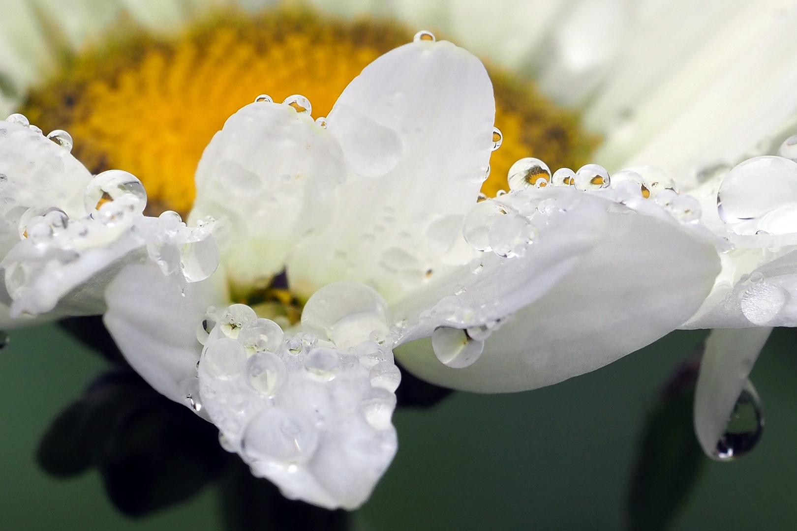 margerite im regen