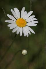 Margerite, Leucanthemum vulgare