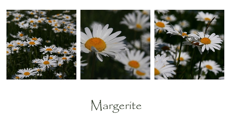 Margeriten...