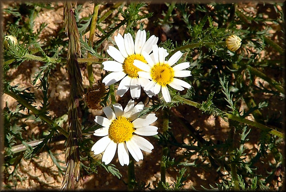 Margheritine bianche in campagna.