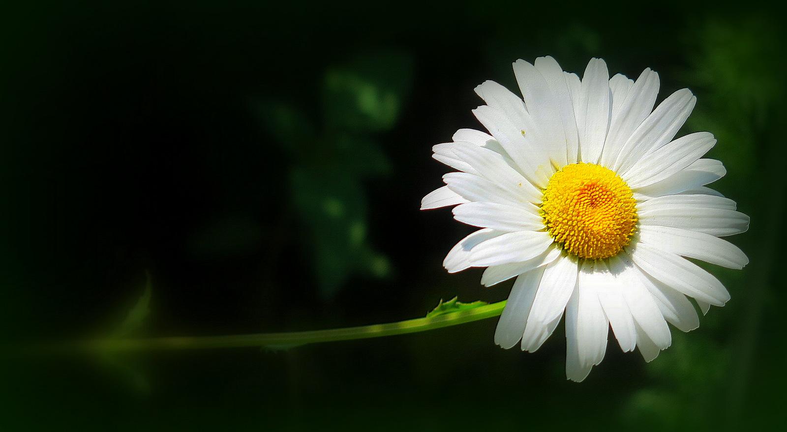 Marguerite photo et image nature fleurs fleur - Image fleur marguerite ...