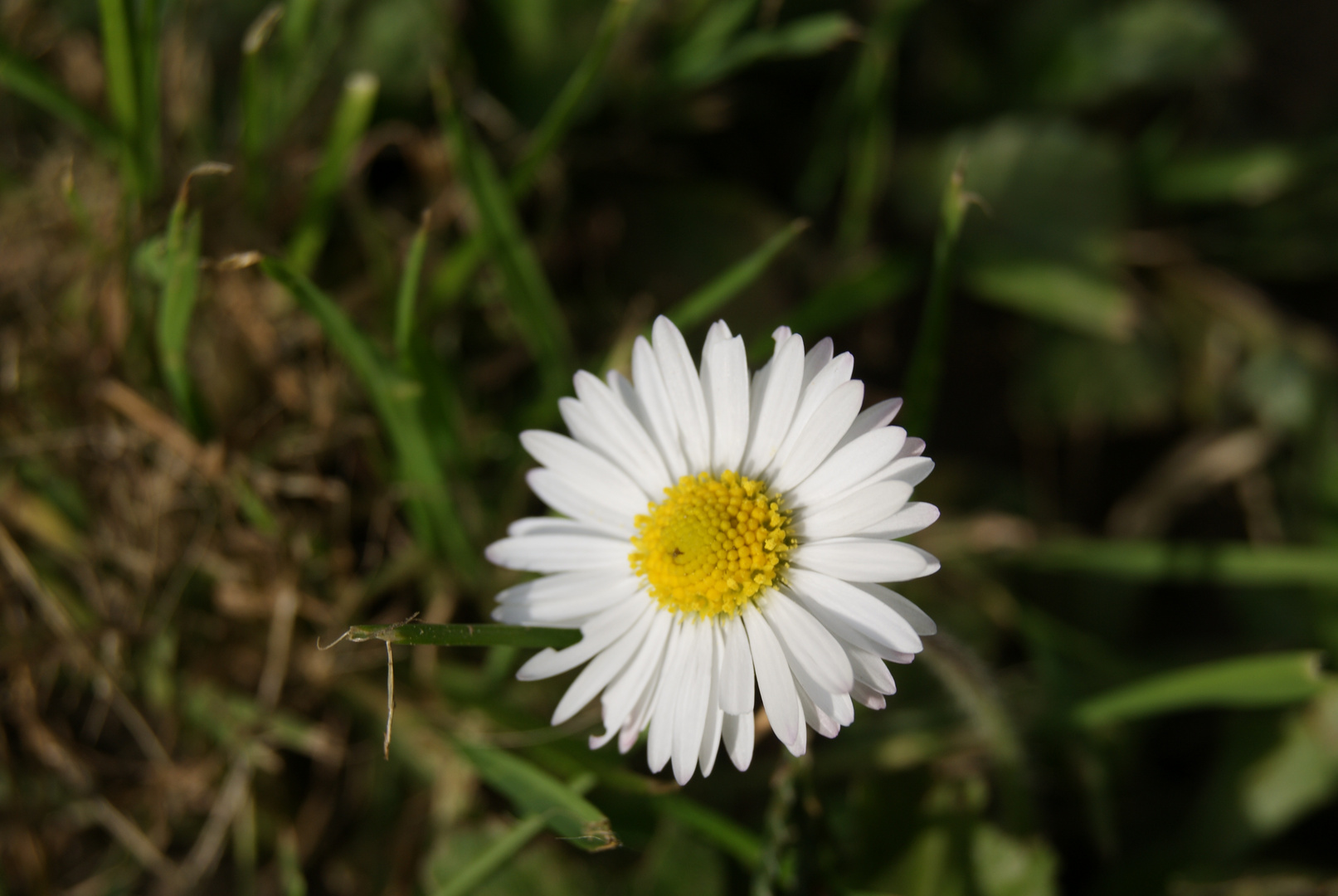 Marguerite - Daisy