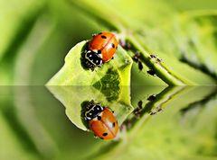 Mariechen und die Blattläuse