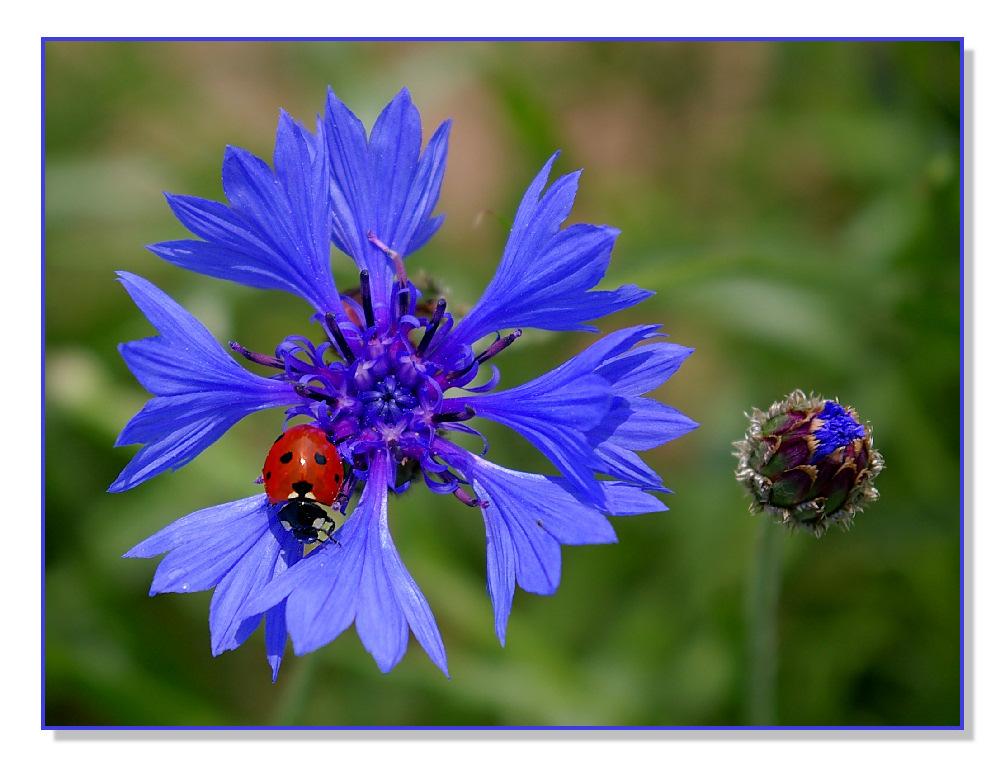 Marien, Korn, Käfer und Blume