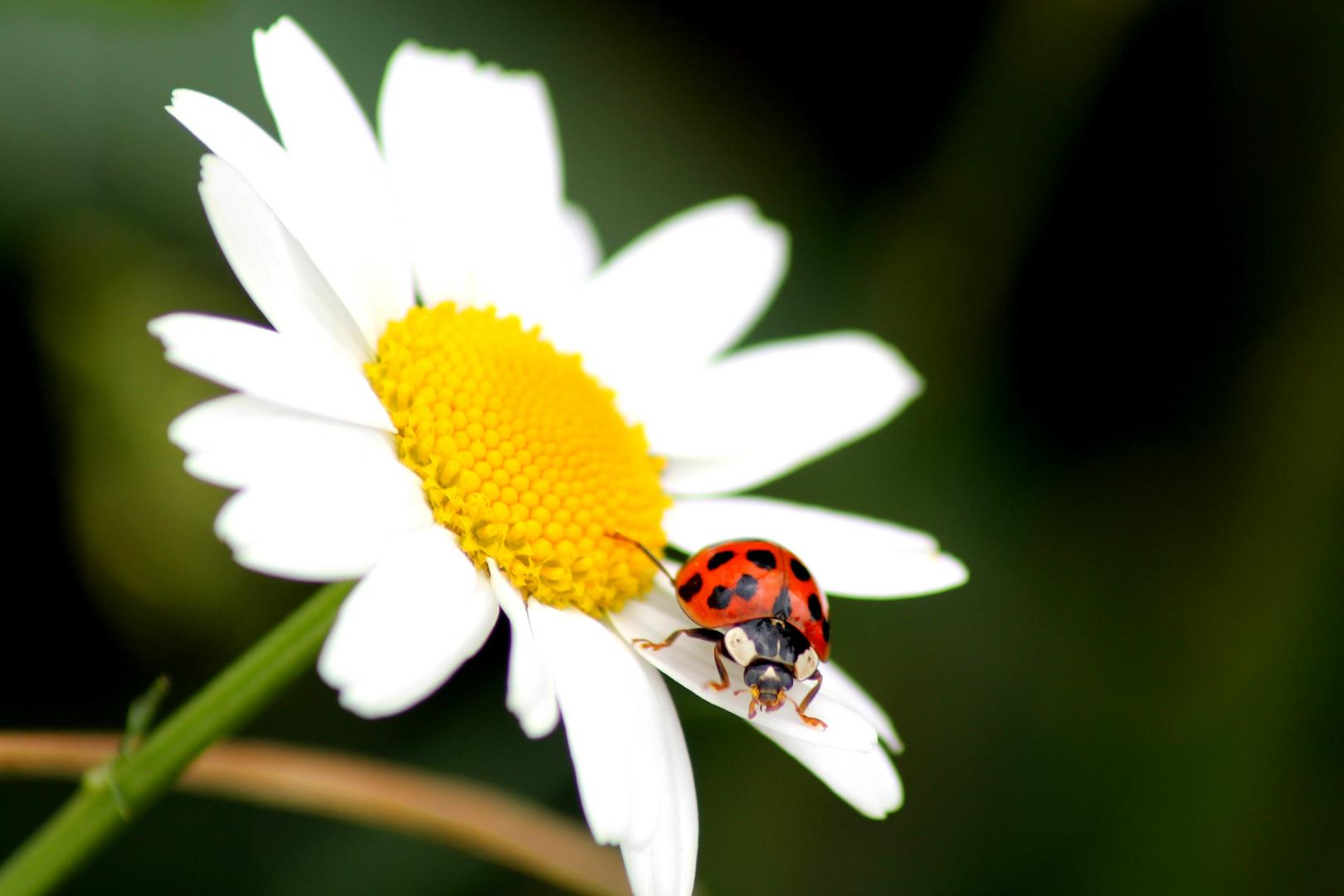 Marienkäfer Auf Gänseblume Foto Bild Tiere Wildlife Insekten