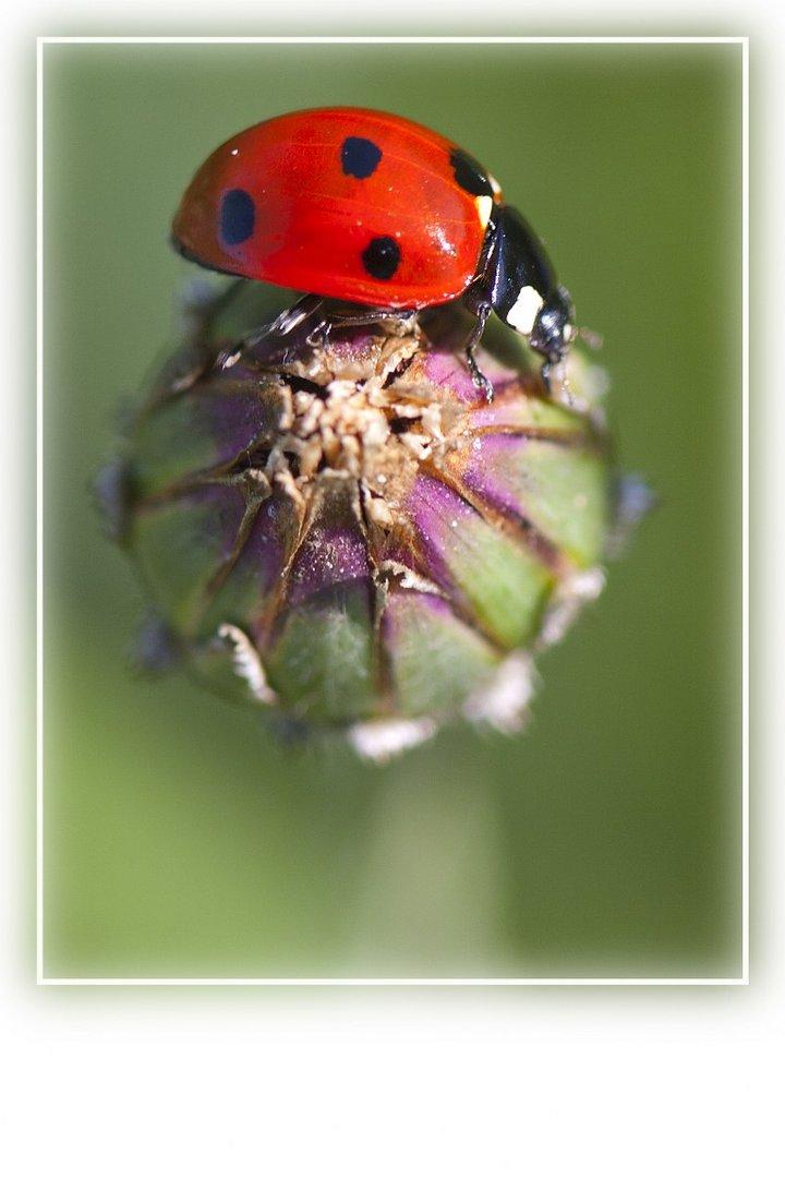 Marienkäfer auf Kornblume