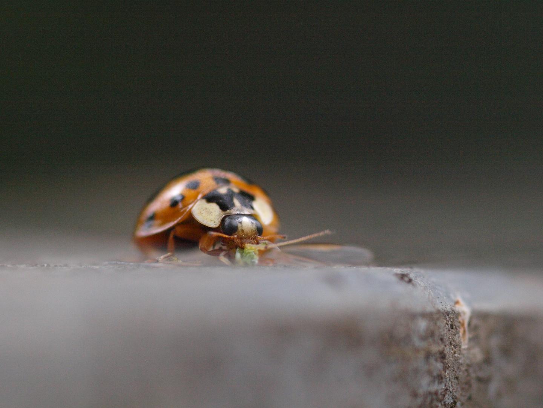 Marienkäfer beim essen