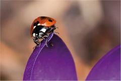marienkäfer (coccinellidae) - 2013 (5.1)