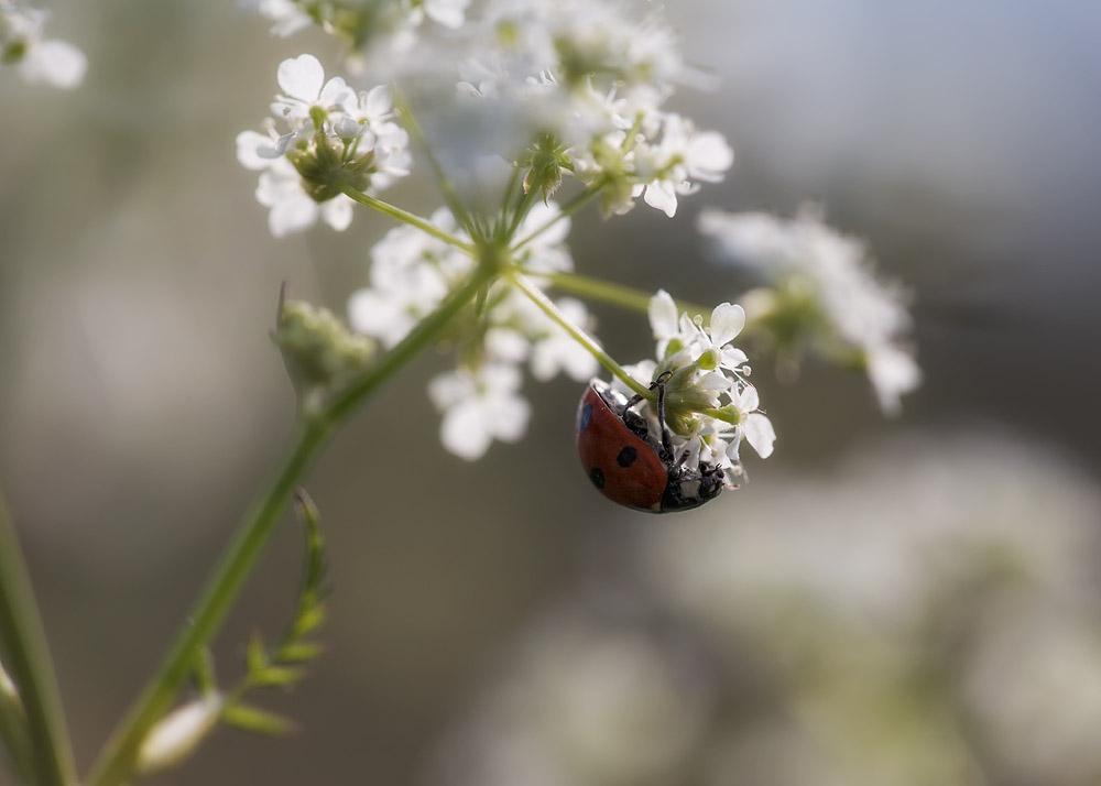 Marienkäfer (Coccinellidae) der erste diese Jahr :-)