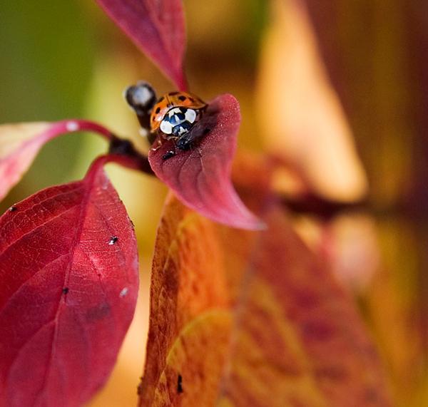 Marienkäfer im Herbst