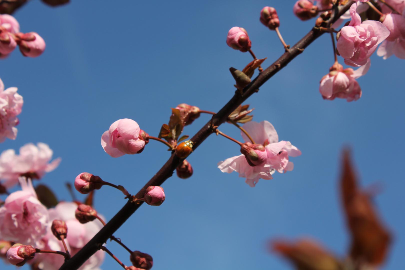 Marienkäfer im Kirschbaum