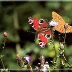 Marienkäfer mit Schmetterlinge