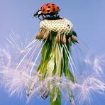 Marienkäfer Pusteblume