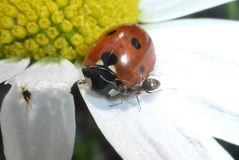Marienkäfer und Ameise