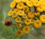 Marienkäferchen auf der Blüte