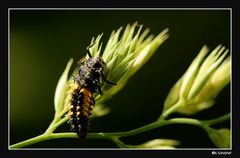 Marienkäferlarve, grad noch entdeckt.
