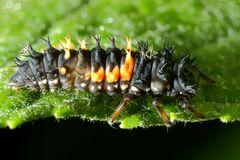 Marienkäferlarve (V)