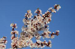 Marillenblüten...