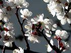 Marillenblüten