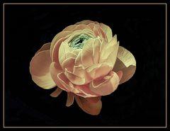 Marimonia  o flor de seda