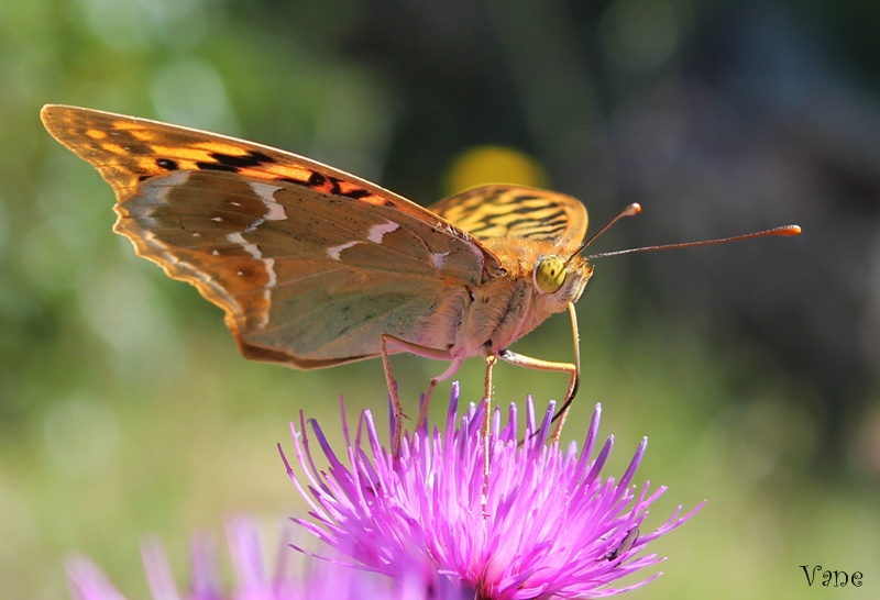 ... mariposa ...