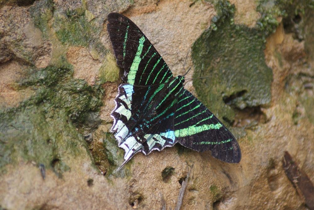 Mariposa Amazónica
