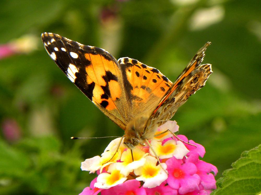 Mariposa comiendo III