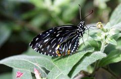 [mariposa]
