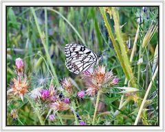 Mariposa diurna I (Melanargia ines)