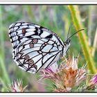 Mariposa diurna II (Melanargia ines)