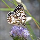 Mariposa diurna Melanargia ines I