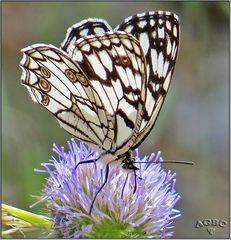 Mariposa diurna Melanargia ines II