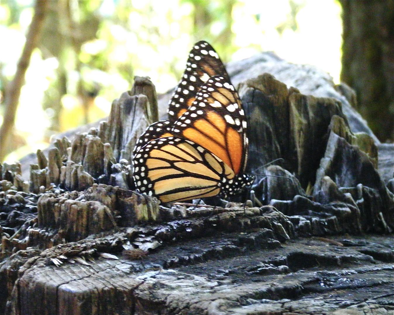 Mariposa en un tronco