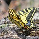 Mariposa Macaón (Papilio machaon) I