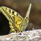 Mariposa Macaón (Papilio machaon) II