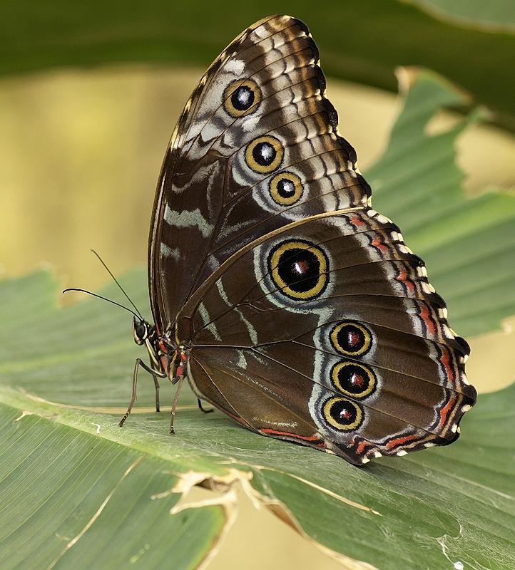 Mariposa morfo