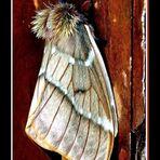 Mariposa?... no,  es una polilla!!!