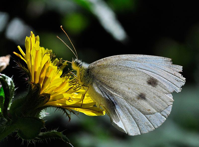 Mariposa (pieris rapae)