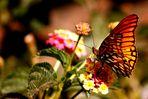 Mariposa sobre lantana