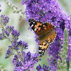 Mariposa  sobre lila se verano