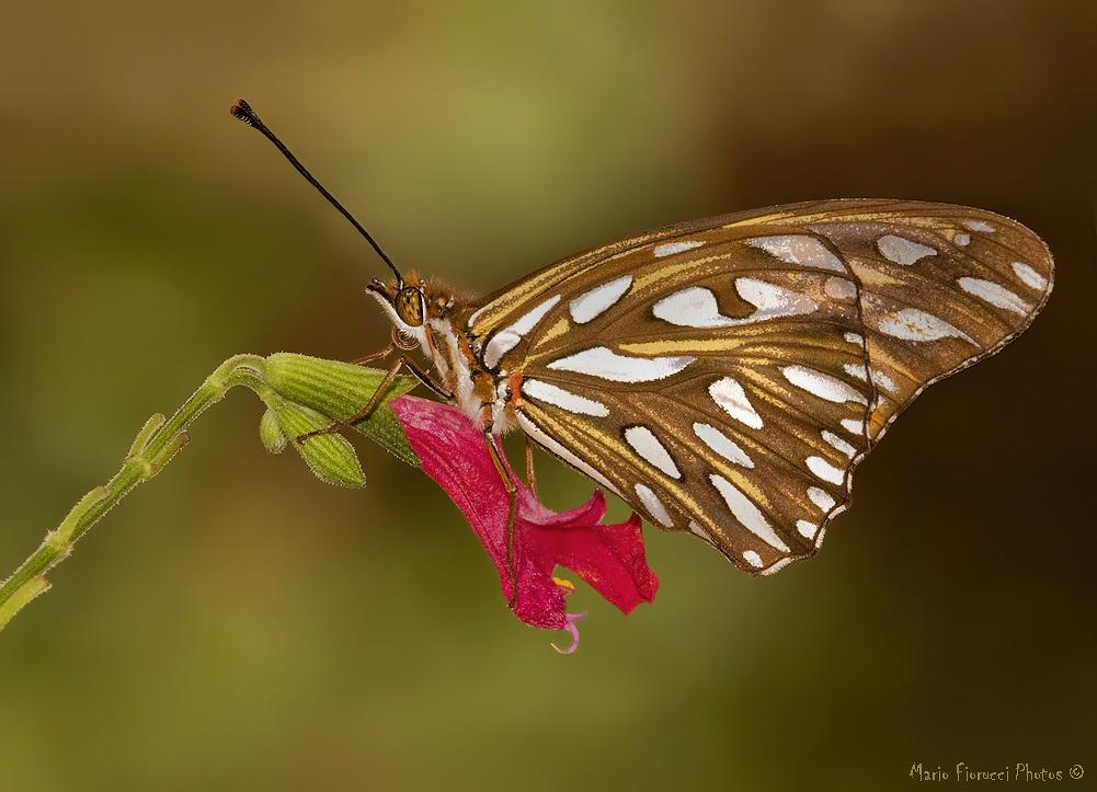 Mariposa sobre menta silvestre