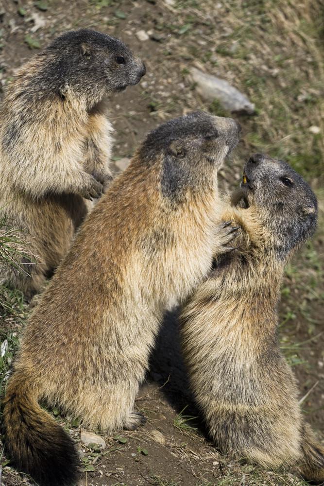 Marmot-courtship