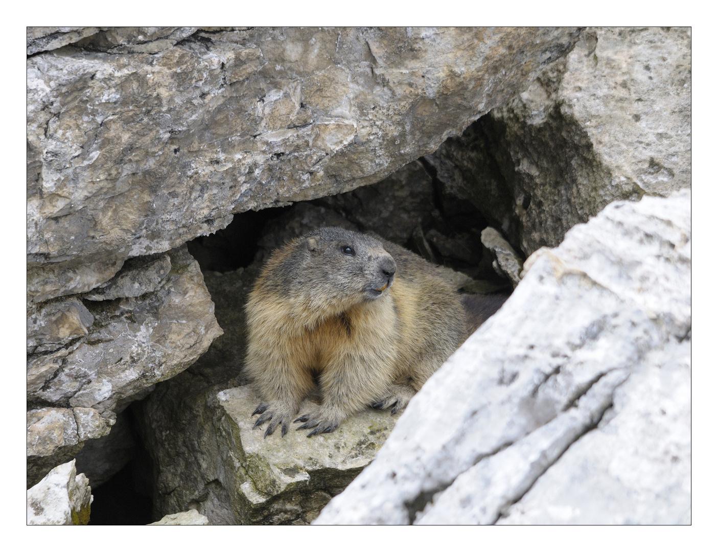 Marmotta #2