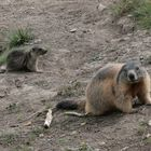 Marmotta con prole