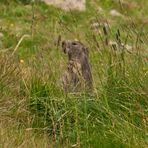 Marmotta Piccolo.S.Bernardo